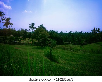 Natural Scenery Of The Village In The Rice Field At Ringdikit Village, Buleleng, North Bali, Indonesia