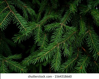 Natural Siberian fir branches. Wonderful background for your text. Christmas decoration. Winter holidays mood. Atmospheric still life. Creative layout made of Christmas tree branches.