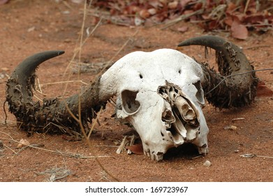 Natural skull of a buffalo in the Kruger National Park