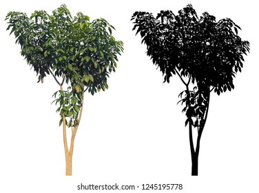 natural slim trunk green leaves tree with black alpha mask isolated on white background.