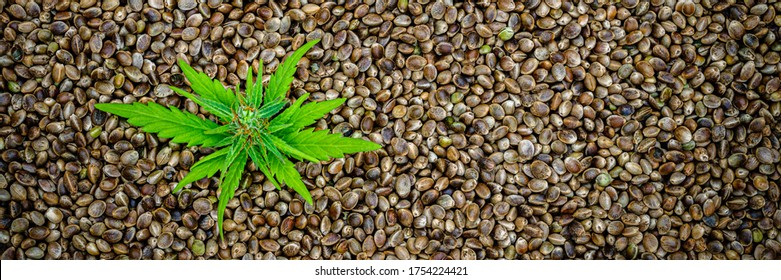 Natural small green hemp sprout on dry Hemp seeds.  Green Hemp leaves, top view, macro