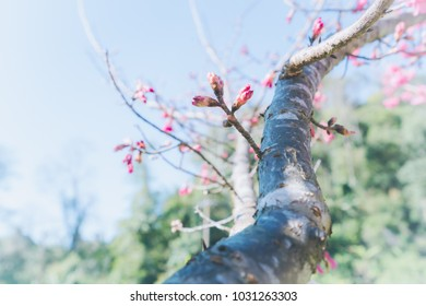 Natural soft focus background of new cherry blossom tree branch, reproduction of cherry blossom tree, growth concept.
