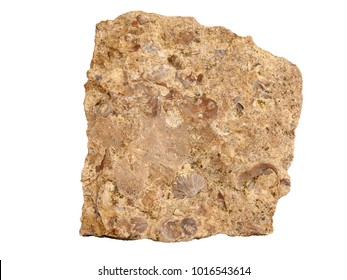 Natural specimen of limestone - organogenic sedimentary rock composed of the calcareous hard parts of ancient mollusks, bryozoans and sea lilies or crinoids, Permian geologic period, Vyatka region