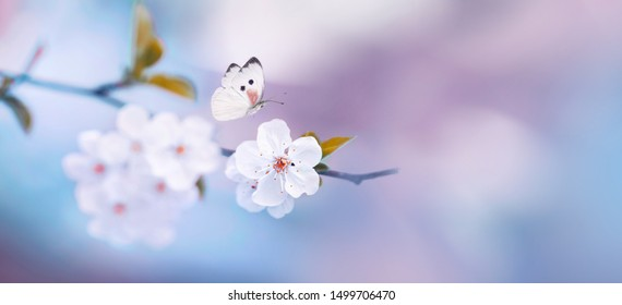 Natural spring floral colorful background banner format. Beautiful butterfly, branch blossoming cherry, blue pink background macro. Amazing elegant artistic image nature, cherry flower, copy space.
