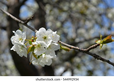 Natural spring flowers, tree