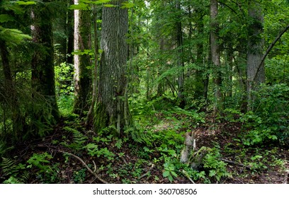 Natural stand of Bialowieza forest Landscape Reserve with alder tree moss wrapped,Bialowieza Forest,Poland,Europe