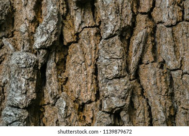 Natural structured Surface of a Oak Tree Bark