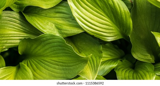 Natural summer; background with  green hosta leaves in the meadow; close up banner , horizontal.