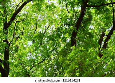 Natural summer background of many leaves of a large adult oak tree. A lot of green leafy, near the trunk, on a sunny warm day