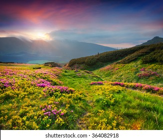 Natural summer scene in Carpathian mountains. Fresh grass and rhododendron flowers glowing last sunlight in evening. Ukraine, Europe.