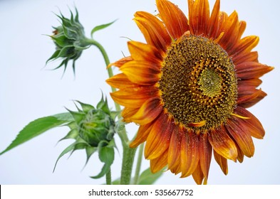 Natural sunflower with buds on white background