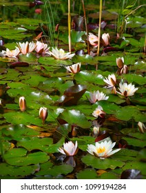 Natural swamp with water lillies and frogs