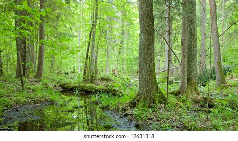 Natural swampy forest at springtime with old alder tree in foreground