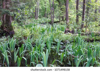 Natural swampy forest in springtime with Sweet Flag marshland plant, Bialowieza Forest, Poland, Europe