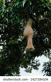 Natural talents of wild bird that build nest by weaving / Weaver Bird's Nest / Consists of two types, one with two openings at bottom for courting and the other with singular opening for hatching
