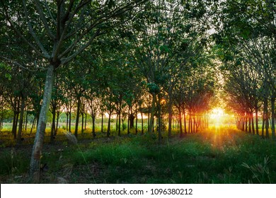 Natural tunnel of rubber plantation at sunset from Phuket Thailand .Rubber plantation .