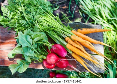 Natural, unwashed, radishes and carrots, freshly picked in the garden
