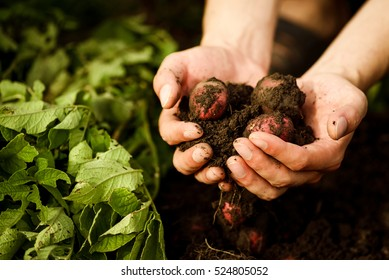 Natural vegetable fresh agriculture food. Raw green potato in the ground in hands in the garden. Organic plant ingredient. Ripe harvest in the farm. Summer nature diet.