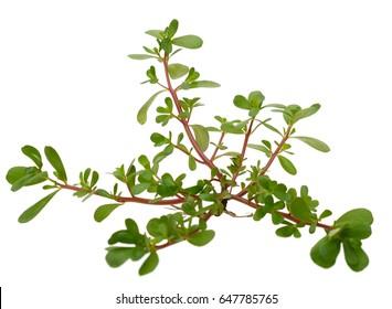 Natural verdolaga leaves tree - Shutterstock ID 647785765