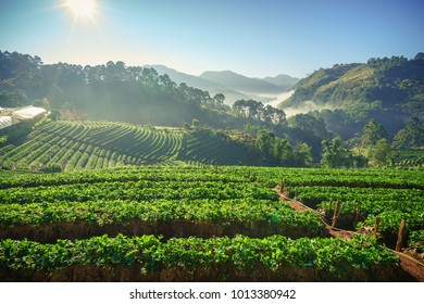 The natural view background of the strawberry farming on the mountain in the morning on winter season. At Doi Ang Khang, Chiang Mai, northern of Thailand.