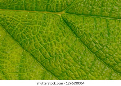 natural view of green fresh leaf. close up photo. macro shot. energy from light . reaction.