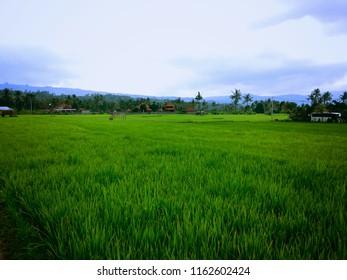 Natural Village Scenery Of The Rice Fields At Kayuputih Village, Banjar, North Bali