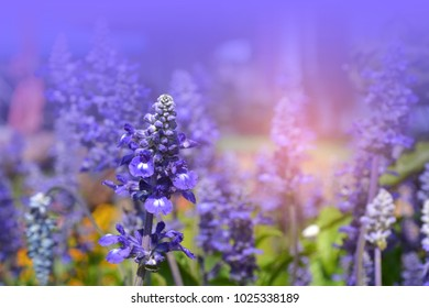 Natural violet flowers common name is Salvia over gradient violet background for text , Soft focus.