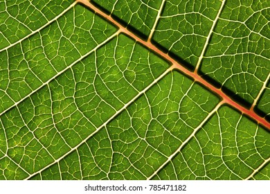 Natural vivid green leaf macro background. Leaf vein structures pattern.