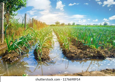 natural watering of agricultural crops, irrigation. cabbage plantations grow in the field. vegetable rows. farming agriculture