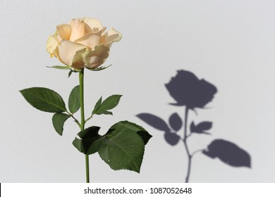 Natural white / light pastel yellow rose and its shadow with a white background. Very beautiful flower and interesting shadow.