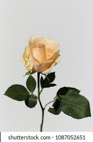 Natural white / light pastel yellow rose with a white background.