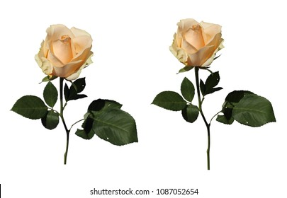 Natural white / light pastel yellow roses with a white background. Two beautiful isolated flowers.