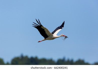 natural white stork (Ciconia ciconia) flying in blue sky with nesting material in beak