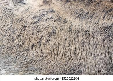 Natural wild boar skin. Wild animal hair. Hair texture.