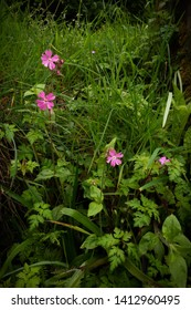 Natural wild flower composition of Red Campions and Herb Robert