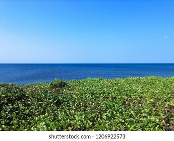 Natural Wild Plants Ipomoea Pes Caprae Grow By The Beach At Seririt Village, North Bali, Indonesia