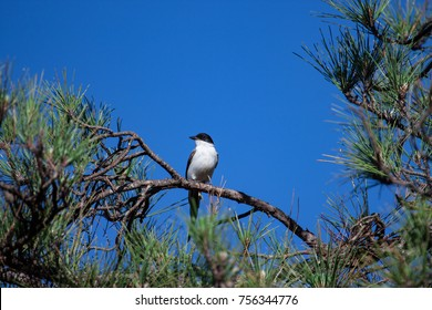 Natural wildlife. Fork-tailed Flycatcher perched on a branch of black pine against blue sky. Brasilia, Brazil.