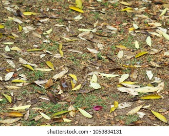 natural yellow brown dried leaves leafs falling on the jungle ground floor after a rainy night selective focus for use as backdrop background picture
