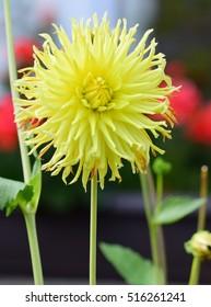 natural yellow dahlia flower