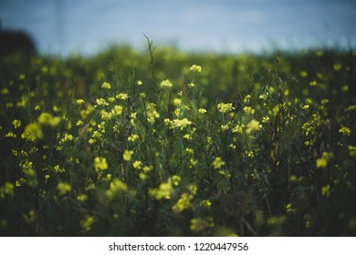 Natural Yellow flowerfield