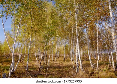 Natural young birch forest on a late summer afternoon in warm light