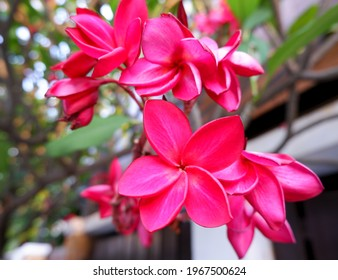 Naturally beautiful vivid red plumeria flowers