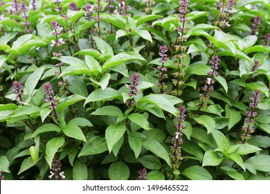 Naturally growing tulsi plant on agriculture farm
