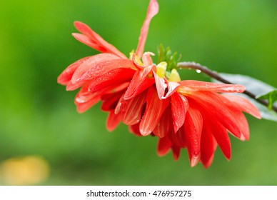 Naturally red dahlia flower after a rain