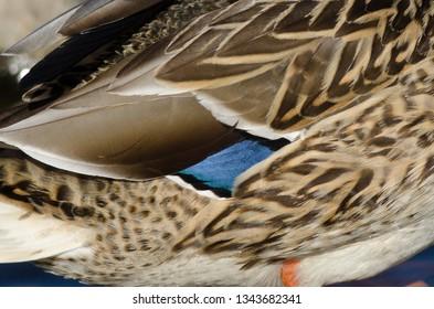Nature Abstrct: Beautiful Feathers of the Mallard Duck