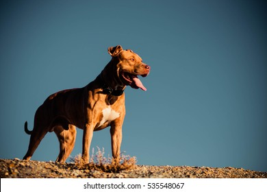 Nature Autumn Animals Leaves Dogs Iron Pitbull Natural Background