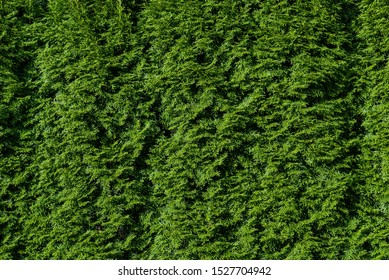 Nature background of arborvitae hedge, textures in green