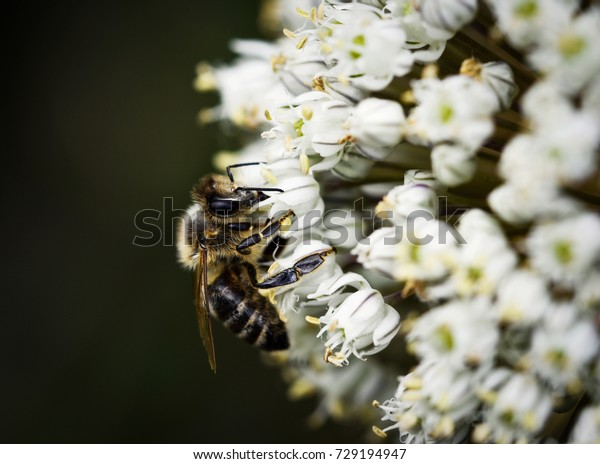 nature background bee on white onion blossom