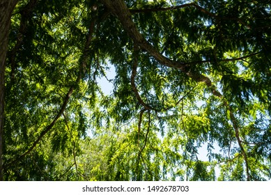 nature background branches and leaves of large mesquite tree