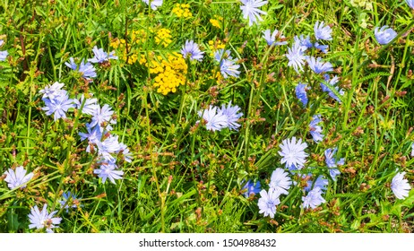 Nature background with the chicory and tansy flowers